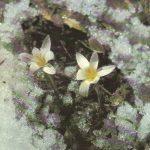 Подснежник 150x150 - Цветы