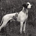 Пойнтер 1 150x150 - Собаки чёрно-белые