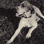 Пойнтер 2 150x150 - Собаки чёрно-белые