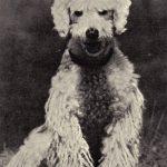 Пудель 1 150x150 - Собаки чёрно-белые