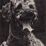 Пудель 2 150x150 - Собаки чёрно-белые