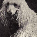 Пудель 3 150x150 - Собаки чёрно-белые