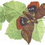Пухокрылая совка Юнона  150x150 - Бабочки
