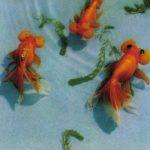 Пучеглазки 150x150 - Аквариумные рыбки