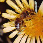 Пчела медоносная 150x150 - Прочие насекомые