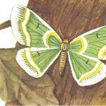 Пяденица удивительная  150x150 - Бабочки