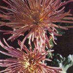 Районант тёмно розовый 150x150 - Цветы