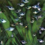 Расбора гетероморфная 150x150 - Аквариумные рыбки