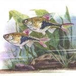 Расбора 150x150 - Аквариумные рыбки