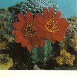 Ребуция Крайнца 1 150x150 - Цветы