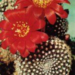 Ребуция Крайнца 2 150x150 - Цветы