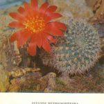 Ребуция крупноцветковая 150x150 - Цветы