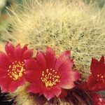 Ребуция седая вар. изящная 150x150 - Цветы