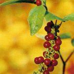 Ривина вязкая 150x150 - Различные растения