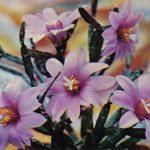Рипсалидопсис розовый 150x150 - Цветы