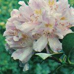 Рододендрон понтийский 150x150 - Цветы
