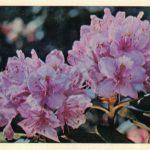 Рододендрон  150x150 - Цветы