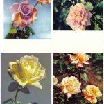 Роза 00005 00008 150x150 - Цветы