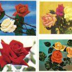 Роза 00009 00012 150x150 - Цветы