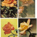 Роза 00013 00016 150x150 - Цветы