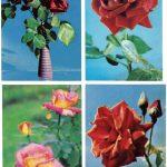 Роза 00017 00020 150x150 - Цветы