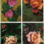 Роза 00029 00032 150x150 - Цветы