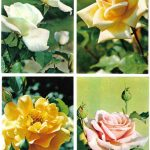 Роза 00033 00036 150x150 - Цветы