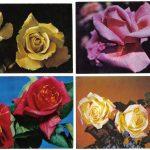 Роза 00037 00040 150x150 - Цветы