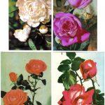 Роза 00045 00048 150x150 - Цветы