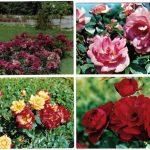 Роза 00049 00052 150x150 - Цветы