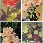 Роза 00057 00060 150x150 - Цветы