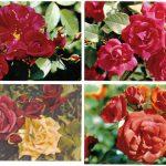 Роза 00061 00064 150x150 - Цветы