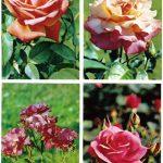 Роза 00065 00068 150x150 - Цветы