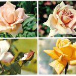 Роза 00069 00072 150x150 - Цветы