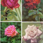 Роза 00081 00084 150x150 - Цветы