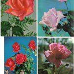 Роза 00085 00088 150x150 - Цветы