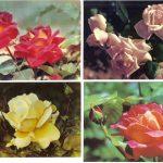 Роза 00089 00092 150x150 - Цветы