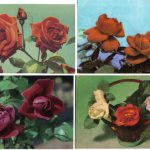 Роза 00093 00096 150x150 - Цветы