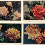Роза 00109 00112 150x150 - Цветы