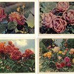 Роза 00113 00116 150x150 - Цветы