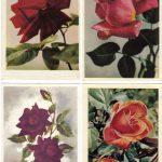Роза 00117 00120 150x150 - Цветы