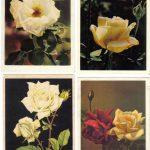 Роза 00125 00128 150x150 - Цветы