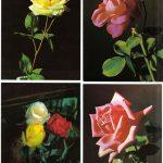 Роза 00137 00140 150x150 - Цветы