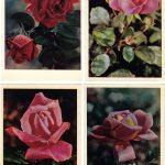 Роза 00145 00148 150x150 - Цветы