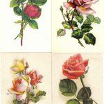 Роза 00153 00156 150x150 - Цветы