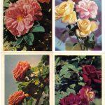 Роза 00161 00164 150x150 - Цветы