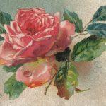 Роза 00167 150x150 - Цветы