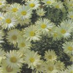 Ромашки на лугу 150x150 - Цветы