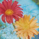 Ромашки садовые 150x150 - Цветы