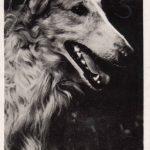 Русская борзая 150x150 - Собаки чёрно-белые
